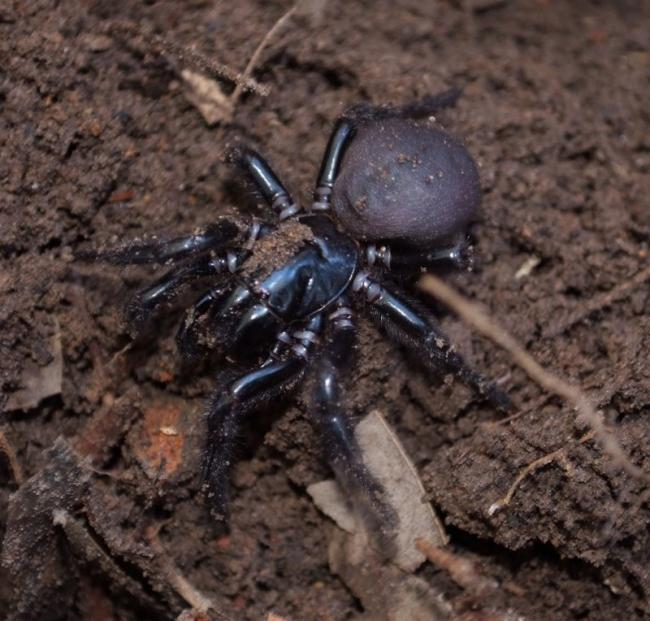 Funnel web 1